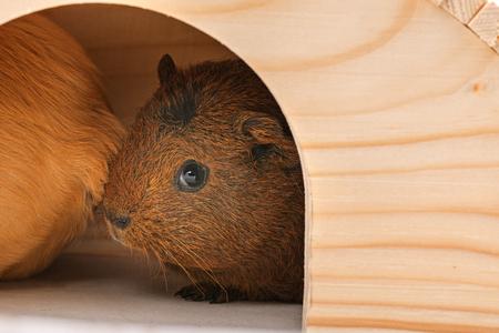 cavie: guinea pigs