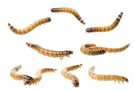 Zophobas atratus morio - meal worm isolated on white Stock Photo