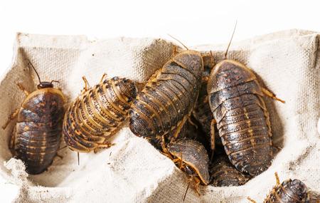cockroach - Blaptica dubia Stock Photo
