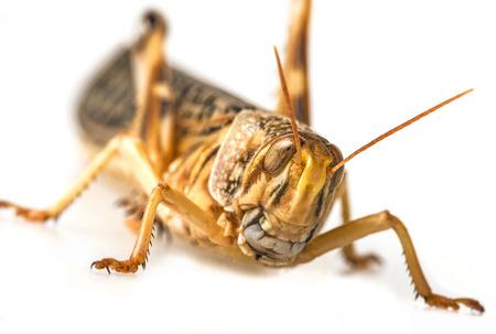 Schistocerca gregaria - the desert locust - food insects