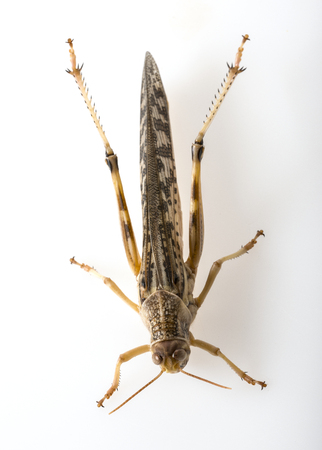 langosta: Schistocerca gregaria - the desert locust - food insects