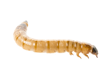 chitin: Zophobas atratus morio - meal worm isolated on white Stock Photo