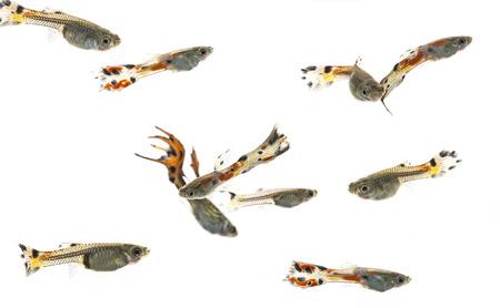 million fish: Guppy, Barbados Millions, Million fish - (Poecilia reticulata)