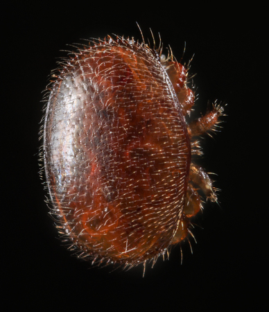 mellifera: Varroa destructor bee parasite - microscope photo