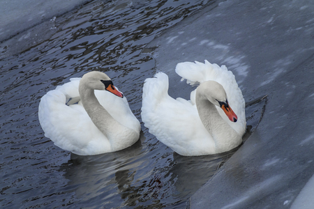 magnificence: white swans
