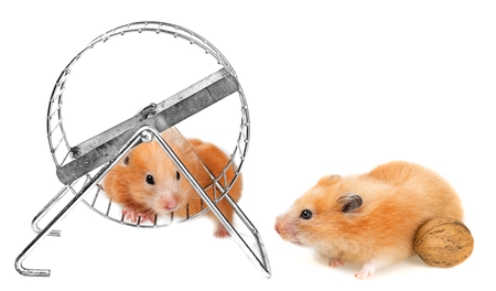 a cute little hamster on white background