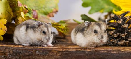 little pet hamster - Phodopus sungorus