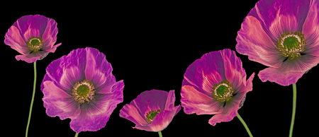 three poppies on white background Stock Photo