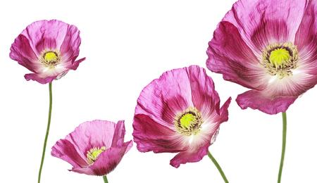 three poppies on white background Stock Photo