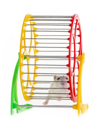 Hamster läuft in einem Rad Standard-Bild