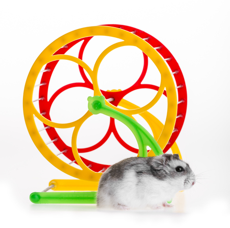 russian hamster: hamster and wheel