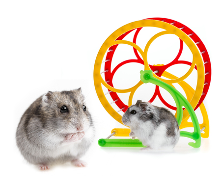 russian hamster: hamster and a wheel