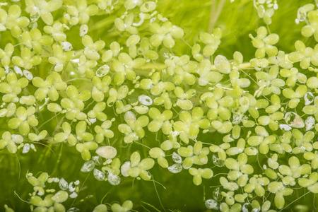 lemna minor - green duckweed, water plant Stock Photo