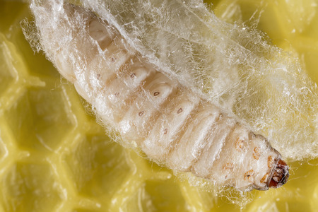 Galleria mellonella; wax moth - bee parasite - microscope photo