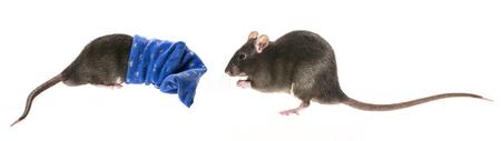 pest control: cute pet rat in a sock