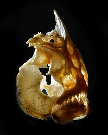 skull of a piranha