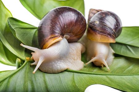Achatina snail (Lissachatina fulica) pet animal Stock Photo