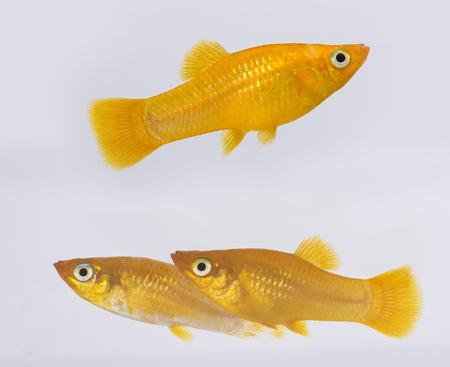 Xiphophorus hellerii - Ada swordtail - aquarium fish