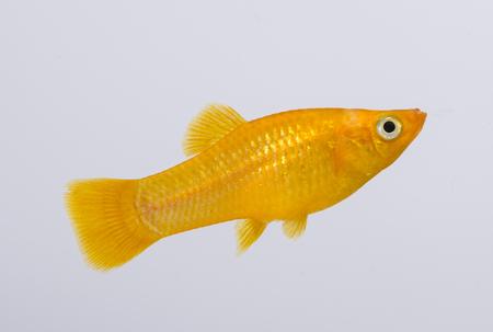 koi: Xiphophorus hellerii - Ada swordtail - aquarium fish