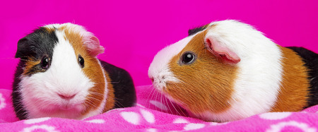 3 little pigs: cute guinea pigs - pink background Stock Photo