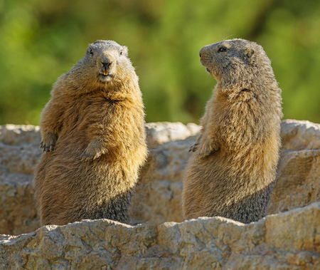 marmots on a medow