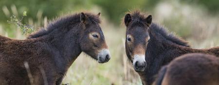 exmoor: exmoor pony Milovice - Crech republic