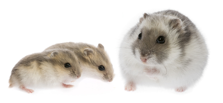 russian hamster: hamster - Phodopus sungorus with babies Stock Photo