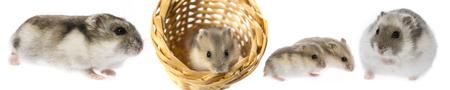 hamster - Phodopus sungorus with babies Stock Photo