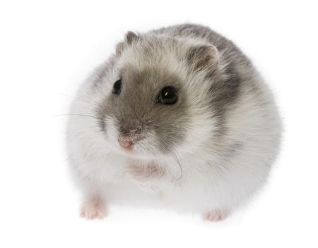 hamster - Phodopus sungorus Stock Photo