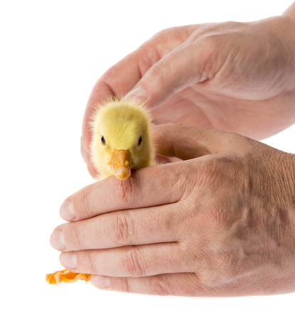 gosling in a hands Stock Photo