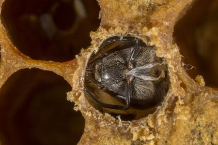 hatching bee