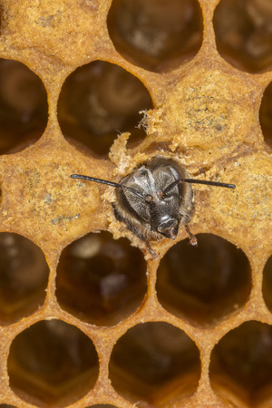 hatching young bee Stock Photo