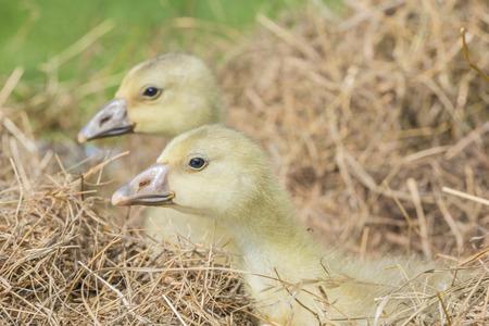 white goose; gosling; Anser anser domesticus Stock Photo