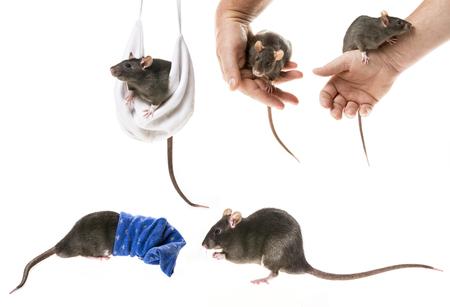 cute pet rats Stock Photo