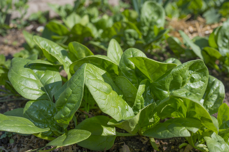 spinach in the garden Stock Photo