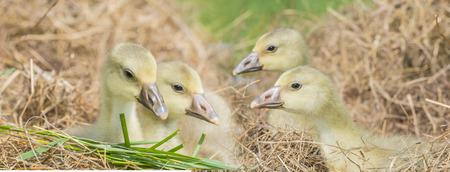 anser: white goose; gosling; Anser anser domesticus Stock Photo
