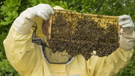 apis: Beekeeper works in a hive - adds frames, watching bees Stock Photo