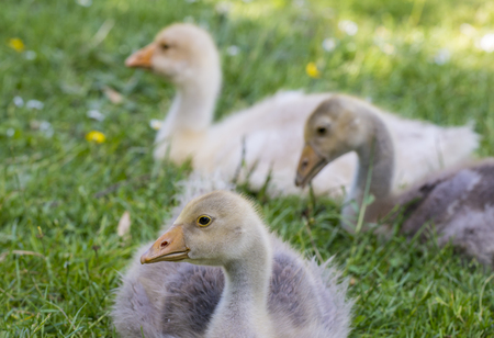 white goose; gosling; Anser anser domesticus,