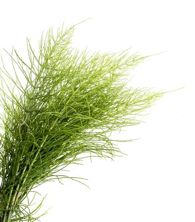 Equisetum arvense - 말꼬리 허브