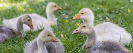anser: white goose; gosling; Anser anser domesticus,