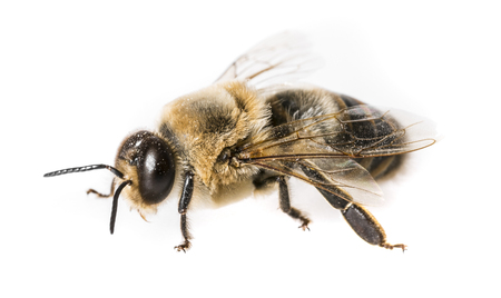 Bee Drone Stock Photo