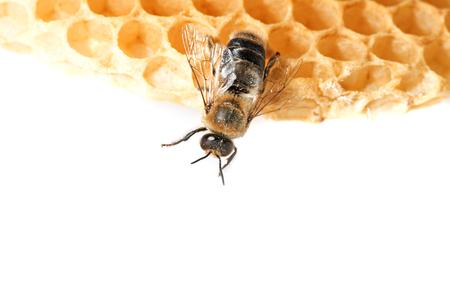 mellifera: bee drone Stock Photo