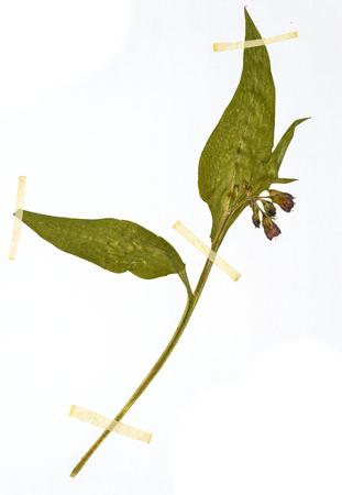Symphytum officinale - Herbarium sheet Stock Photo