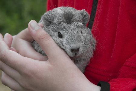 guinea pig in a hands