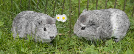 cavie: guinea pigs in the garden
