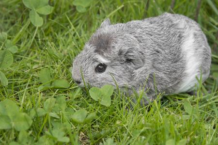 giunea pig in the garden Stock Photo