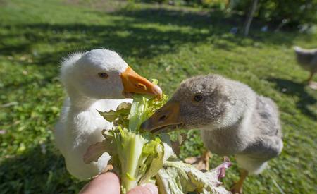 Feeding geese Stock Photo