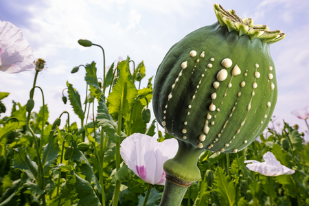 Opium production - latex flows from immature macadamia (Poppy seed - Papaver somniferum) Stock Photo