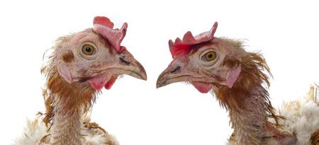 鶏ケージ農業 - から動物保護の概念 写真素材