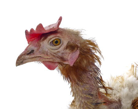 miserable: hen from caged  farming - animal protection concept